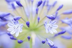 Blue flowers 196/365