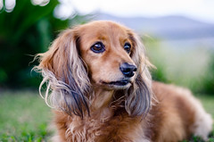 Annie, looking thoughtfully into the distance (leodudin) Tags: dog dogs dachshund nikon d7000 50mm 18 18d nikkor pets pet cute animal animals portrait friend bokeh creamy