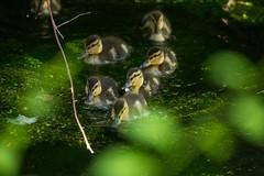 2U7A2287 (rpealit) Tags: scenery wildlife nature east hatchery alumni field mallard duck ducklings bird