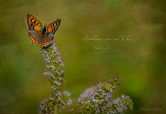 15 luglio 2017, in ricordo di mio padre (adrianaaprati) Tags: papillon butterfly flowers july dad remembrance