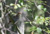 A hazel grouse chick (uusija) Tags: hazelgrouse tetrastesbonasia bird linnut luonto nature pyy