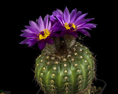 Notocactus uebelmanius (clement_peiffer) Tags: notocactus uebelmanius flowerscolors d7100 105mm cactaceae succulent peiffer clement nikon cactus fleurs flower spines epines kaktusi кактуси purple violet