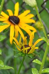 in my garden (ladybugdiscovery) Tags: blackeyedsusan flower coneflower yellow garden droplets water rain fence