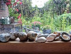 Raindrops keep falling (Fijgje On/Off) Tags: regen rain regendruppels raindrops raam window tuin garden vensterbank windowsill schelpen shell fijgje panasonicdmctz60 juli2017