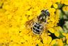 Eristalis stipator (aliceinwl1) Tags: arthropod arthropoda aschiza ca california diptera eristalina eristalinae eristalini eristalinus eristalisstipator guadalupe insect insecta osoflaco osoflacodunes osoflacolake sanluisobispocounty subgenuseoseristalis syrphidfly syrphidae fly locpublic stipator viseveryone