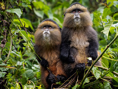 Best Friends Forever (ido-scharf) Tags: africa rwanda animals brothers forest friends goldenmonkey hands holdhands holdinghands monkey siblings together travel wildlife