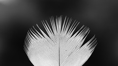 Texture of Nature... (RALPHKE) Tags: textureofnature birdsfeather feather netherlands nature natuur closeup texture macromondays hmm canon canoneos750d blackwhite mono