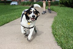 Day 7 (hannahrho) Tags: dilly basset running action dog animal