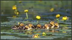 8 little monsters (CrzyCnuk) Tags: mallard alberta canon canon6d wildlife duck ducklings crimsonlake