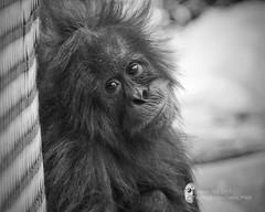 Behind blue eyes (Grains of Rice) Tags: orangutan chesterzoo sony sonydslr sonycamera gssm blackandwhite bw portrait snapseed