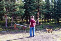 Doc and Fox (JLS Photography - Alaska) Tags: alaska alaskalandscape forest fox redfox docdoolittle doc animal cabinlife homestead jlsphotographyalaska landscape lastfrontier landscapes northof60 outdoor wildlife wilderness