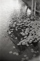 Nenuphar (Magnus Bergström) Tags: bw blackwhite blackandwhite black white hp5 ilford ilfordhp5plus plus luminox luminox356sl sverige sweden värmland water lily waterlily river klarälven karlstad inre hamn harbor monochrome