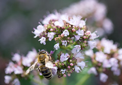 bee on thyme (Simple_Sight) Tags: bee insect macro closeup plant thyme garden outdoors green pink