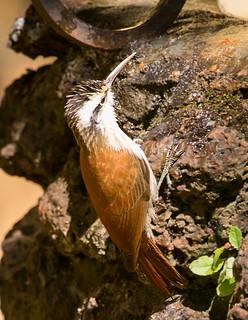 Arapaçu-de-cerrado (Lepidocolaptes angustirostris)
