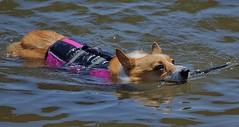 Stick Retriever (swong95765) Tags: dog vest water river stick retrieval swim cute dogpaddle