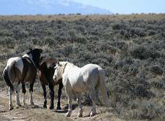 Wild Horse Wednesday (A Wild Western Heart) Tags: loh wildhorses wyoming mcculloughpeakswildhorses keepwildhorseswild imwiththeband nohorseslaughter politics