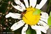Bockkäfer (binax25) Tags: bockkäfer käfer bug beetle tier anmial insekt insect fauna natur sommer summer dolde braun weis fühler flügel magerite