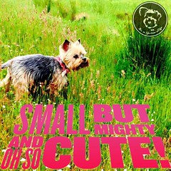 Good things come in tiny packages (itsayorkielife) Tags: itsayorkielife yorkie yorkielove yorkiememe yorkshireterrier