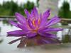 Nymphaea 'Turtle Island Violicious' ISG (HxT) Water Lily Klong15 005 (Klong15 Waterlily) Tags: turtleisland violiciouswaterlily thailandwaterlily isgwaterlily intersubgenericwaterlily purplewaterlily hxtwaterlily nymphaea