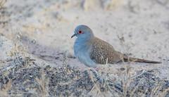 Diamond Dove (Mykel46) Tags: diamond dove gidgealpa southaustralia australia au birds natur nature canon wildlife outside outdoors red