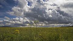 under darkening skies (HHH Honey) Tags: sonya7rii tokina2035mmlens tokina salisburyplain wiltshire summer clouds cloudscape landscape yellow wildflowers umbelliferae