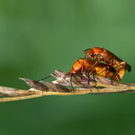 mating beetles