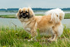 _DSC3945 (durr-architect) Tags: tibetan spaniels oostvaardersdijk almere companion dog
