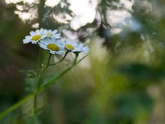 Summer dreams (gezipt1) Tags: bokeh flower sunset dof grass leaves olympus omd em10markii 45mm f18