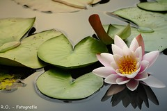 Seerose / Water Lilie (R.O. - Fotografie) Tags: seerose water lilie bläter rose wasser paderborn fischteiche panasonic lumix dmcfz1000 dmc fz1000 fz 1000 natur nature rofotografie