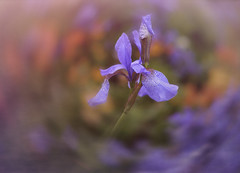 An Angel has No Memory (shawn›raisin d+p) Tags: fujifilmxt10 plant shawnwhite blue blur bokeh dream dreamy energy excitement flower iris magic magical nostalgia playful primelens purple retro summer texture styal england unitedkingdom gb