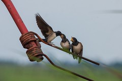 Feeding time Barn swallow (reneadelerhof) Tags: barnswallow swallow boerenzwaluw zwaluw vogel bird eempolder eemnes utrecht voeden feeding