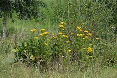 Tanacetum vulgare (Tansy) (sianmatthews25) Tags: tanacetumvulgare tansy greshammarsh sk5737