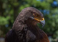 Harris' Hawk (Don Dunning) Tags: animals bird birds britishcolumbia canada canadianprovince harrishawk hawk northcowichan raptor raptorcentre vancouverisland