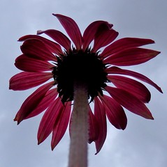 From the bottom looking up! (chris p-w) Tags: flower flickrsfantasticflowers