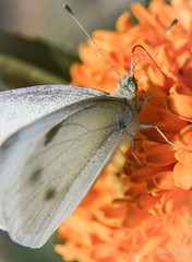 Another Butterfly On A Flower (JadedJennii) Tags: diopter macro butterfly garden flower