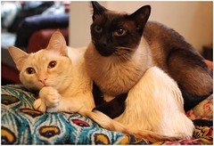 Ruby and Leroy (BalineseCat) Tags: leroy ruby seal flame red point siamese cats