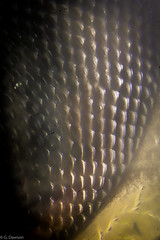 50X Compund Eye (grantdaws) Tags: micro macro microscope insect insects entomology close up color creative science scientific high resolution moth butterfly yellow jacket cockroach quarter compound eye atlanta georgia ga