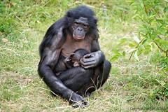 Bonobo    mother and baby (DirkVandeVelde on and off) Tags: europ europa europe belgie belgium belgica belgique buiten biologie antwerpen anvers antwerp animalia animal mechelen malines malinas mammalia muizen planckendael zoo dieren dierentuin dierenpark bonobo zoogdieren mensapen chordata park primates primaten hominidae fauna sony