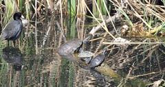 American Coot (Fulica americana) and Turtles; Tucson, AZ, Sweetwater Wetlands [Lou Feltz] (deserttoad) Tags: bird wildbird waterfowl nature reflection water park pond behavior arizona herp turtle