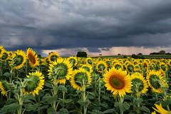 Bon, moi je me sauve !!! (Excalibur67) Tags: nikon d750 sigma globalvision 24105f4dgoshsma paysage landscape ciel cloud sky nature nuages tournesol sunflower campagne