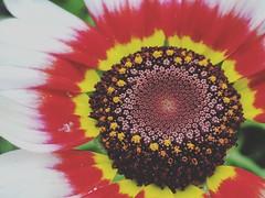 Crysanthemum (Henry Hemming) Tags: crysanthemum macro petals stars shining universe cosmos endless