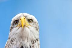 American eagle (Blende1.8) Tags: baldeagle americaneagle eagle weiskopfseeadler haliaeetusleucocephalus accipitriformes vogel greifvogel greifvögel portrait nah close eye eyes augen gelb yellow blue blau nikon d700 80200mm tierfotografie carstenheyer