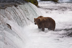The One That Got Away (blackhawk32) Tags: alaska bears brooksfalls canon katmai katmainationalpark northamericanbrownbear salmonrun falls grizzlybear salmom