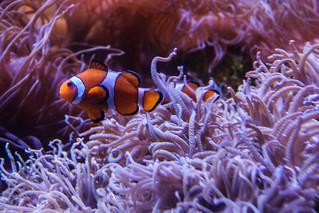 Clownfish IX