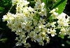 Toyon--Heteromeles arbutifolia (Polioptila caerulea) Tags: toyon heteromeles arbutifoliaheteromelespine grove reservoir rdnevada county california