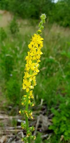 20170708_142653 Agrimony flower spike, Cefn Ila