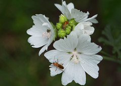 The more, the merrier (ngr07) Tags: mallow insect beetle