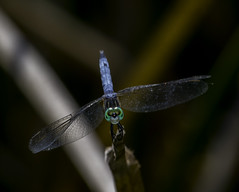 Blue Darter - The Eyes Have It (Bill Gracey 15 Million Views) Tags: bluedarter dragonfly santeelakes oncameraflash nikonsb700 nature reeds color colorful eyes clarity detail blue naturalbeauty separation