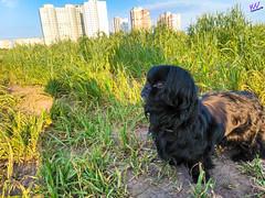 Зверушки 0387 (2016.05.21) (vladsky78) Tags: ильичёвск животные зелень поле собака