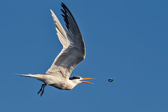 Catch and release (bodro) Tags: bolsachica eleganttern anchovy bird birdinflight birdphotography bluesky catch ecologicalreserve fish release shallows tern tiny toss wetlands white wingsup